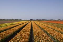 Typiska holländska blommafält i vår Fotografering för Bildbyråer