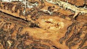 Typographus Ips бича жука коры, спрус и дерево мочала infested и атаковали европейским спрусом, делая их путь внутри акции видеоматериалы