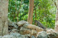 Typowa iguana, chwytaj?ca na ruinach archeologiczny teren Coba obrazy stock