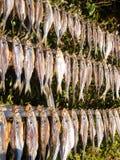 Typowej ryba zwany misultin Obrazy Stock