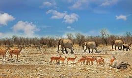 Typowy afrykanin scen w Etosha parku narodowym który zna dla go ` s obfitość przyroda, Fotografia Royalty Free