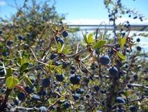 Typowy błękitny jagody el calafate w argentyńskim patagonia obrazy royalty free