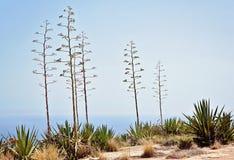 Typowy dla pogodnego Malta krajobrazu Flory Malta Zdjęcie Stock