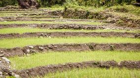 Typowy idylliczny rolniczy ry? poly krajobraz wioska Bengalia w Sundarbans, Zachodni Bengalia, India fotografia stock