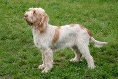 Typowy Spinone Italiano pies na zielonej trawy gazonie zdjęcie stock