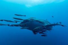 Typus för Rhincodon för valhaj den största fisken i den djura släktingen Arkivfoton