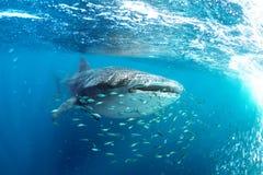 Typus Rhincodon καρχαριών φαλαινών και μικρά κίτρινα ψάρια στοκ εικόνα