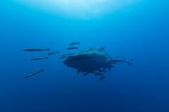 Typus Rhincodon китовой акулы самые большие рыбы в животном роде Стоковые Изображения RF