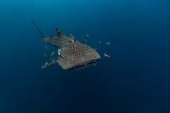 Typus Rhincodon китовой акулы самые большие рыбы в животном роде Стоковые Фото