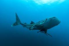 Typus Rhincodon китовой акулы самые большие рыбы в животном роде Стоковые Фотографии RF