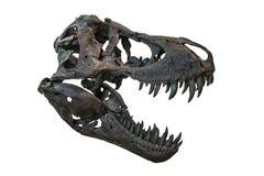 Tyrannosarie Rex Skull Royaltyfria Bilder