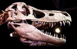 Tyrannosaurus Rex Obrazy Stock