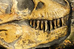 Tyrannosaurus rex. Detail of the skull and teeth of tyrannosaurus rex Royalty Free Stock Image