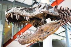 Tyrannosaurus Rex Dinosaur Fossil. A fossil dinosaur skull of the tyrannosaurus rex against an unfocused background. stock photo