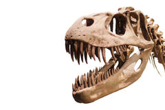 Tyrannosaurus Rex head on white isolated background with copyspace Stock Image