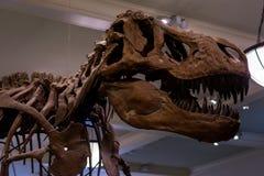 Tyrannosaurus rex kośca głowa obraz stock
