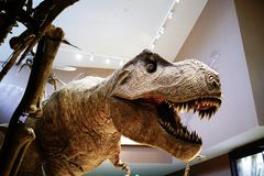 The tyrannosaurus rex model in the Shanghai nature museum royalty free stock image