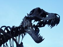 Tyrannosaurus rex. Reproduction of a Tyrannosaurus Rex skeleton seen from below stock photography