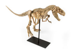 Tyrannosaurus rex skelet Royalty-vrije Stock Fotografie