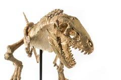 Tyrannosaurus rex skelet Royalty-vrije Stock Foto's