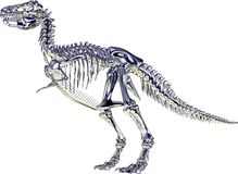 Tyrannosaurus rex Skeleton. This is a Rendering, which shows a skeleton from a Tyrannosaurus rex, also called T-Rex Stock Illustration