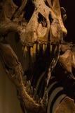 Tyrannosaurus Rex Skeleton Stock Photos