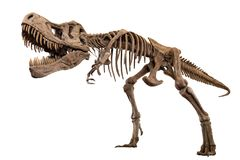 Tyrannosaurus Rex skeleton on isolated background . Embedded clipping paths royalty free stock photography