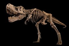 Tyrannosaurus Rex skeleton on isolated background . Embedded clipping paths stock images