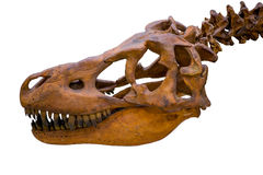 Tyrannosaurus rex skeleton skull isolated Royalty Free Stock Photo