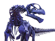 Tyrannosaurus rex skeleton on white. Isolated menacing tyrannosaurus rex skeleton Royalty Free Stock Photo