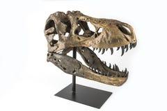 Tyrannosaurus rex Skelett Lizenzfreie Stockbilder