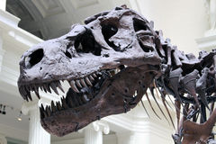 Tyrannosaurus Rex Sue Close Up Royalty Free Stock Image