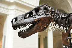 Tyrannosaurus Rex Sue at Field Museum in Chicago Stock Photos