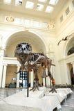 Tyrannosaurus Rex Sue at Field Museum in Chicago Stock Photo