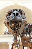 Tyrannosaurus Rex Sue at Field Museum in Chicago Stock Images