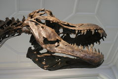 Tyrannosaurus Rex - T Rex Fotografia Royalty Free