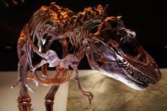 Tyrannosaurus rex tiny forearms Royalty Free Stock Images