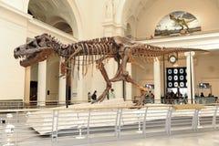Tyrannosaurus Rex Zaskarża przy Śródpolnym Muzeum w Chicago Obrazy Royalty Free