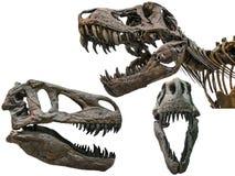 Tyrannosaurus scull Royalty Free Stock Image