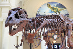 Tyrannosaurus skeleton, Field Museum, Chicago Stock Photography