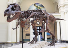 Tyrannosaurus skeleton, Field Museum, Chicago Royalty Free Stock Photo