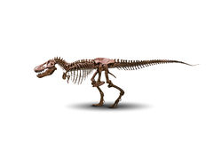 Tyrannosaurus skeleton isolated on white. Royalty Free Stock Images