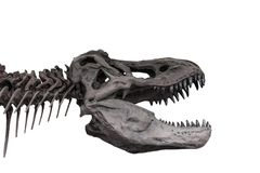 Tyrannosaurus skeleton on white background , isolated.  stock images