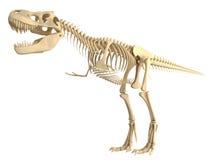 Tyrannosaurus  T Rex skeleton Stock Image