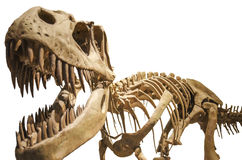 Tyrannosaurusskelett über dem Weiß getrennt Stockbild