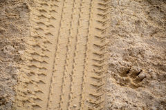 Tyre and dog footprint in the soft and golden sand. Stock Photography