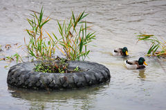 Tyre and duck Royalty Free Stock Images