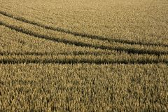 Tyre tracks in cornfield Stock Photo