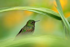 Tyrian metaltail, Metallura tyrianthina districta, rare hummingbird from Colombia. Beautiful bird sitting in the green vegetation. Colombia royalty free stock photo