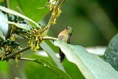 Tyrian metaltail in Ecuador. Tyrian metaltail - Metallura tyrianthina - hummingbird in a plant with berries at a lodge near Baeza, Ecuador royalty free stock images